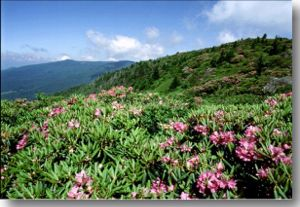 a hillside covered with rhododendrons